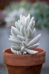 Senecio haworthii - Wooly senecio, Cocoon plant, in a terracotta pot