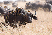 Buffalo with oxpeckers, Serengeti National Park