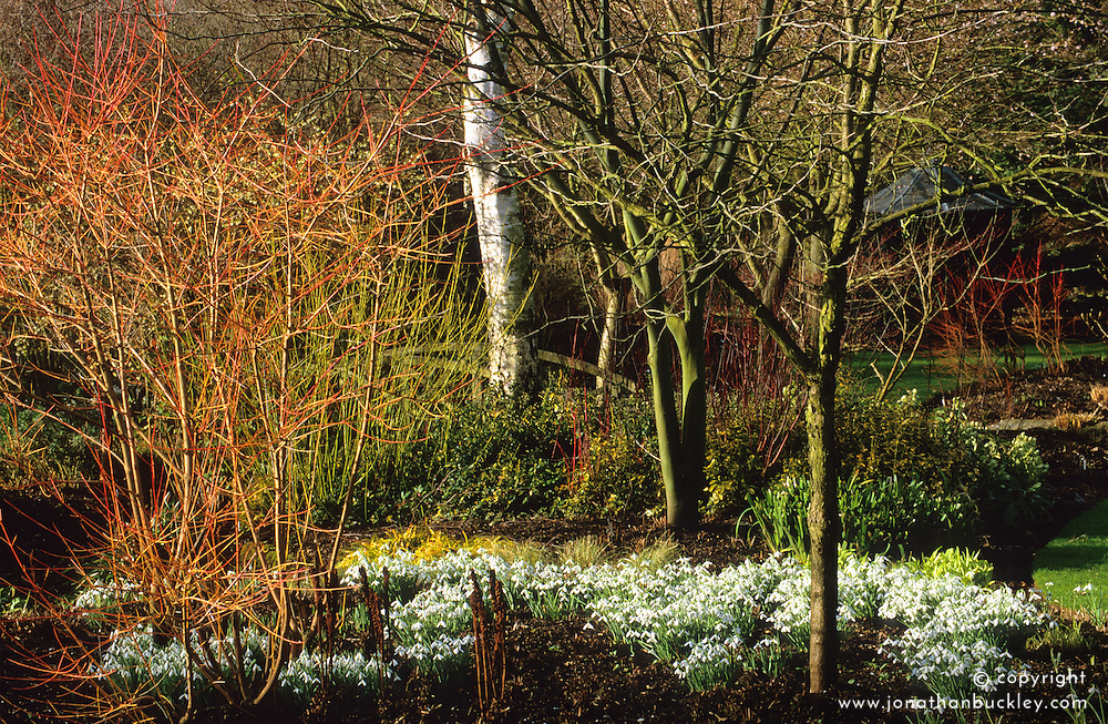 The bright fiery red and orange stems of Cornus sanguinea 'Midwinter Fire' with Galanthus 'Atkinsii' planted around it's base at Glen Chantry - snowdrops.