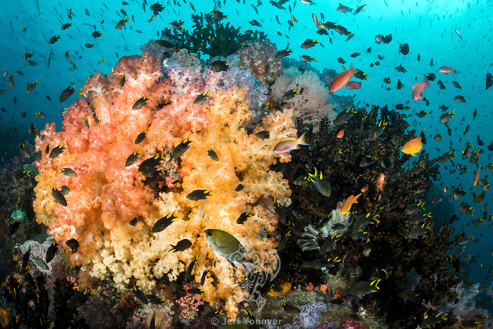 Damsels and Anthias feed amongst vibrantly colored Soft Corals<br /> <br /> Shot in Indonesia