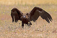Eurasian Black, Cinereous or Monk Vulture, Aegypius monachus, juvenile approaching food with spread wings, summer, Castilla y Leon, Spain