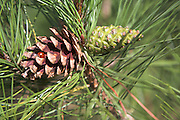 Scots pine  tree cone close up