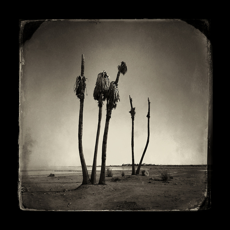 "Charles Blackburn Instagram image of Palm trees at the Salton Sea. 5x5"" print."