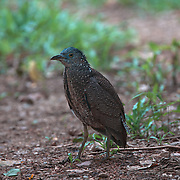 Juvenile Malayan night heron (Gorsachius melanolophus), also known as Malaysian night heron and tiger bittern, is a medium-sized heron. It is distributed in southern and eastern Asia and visists Thailand to breed.