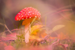 A Fly Fungus toadstool in a fairylike autumn forest