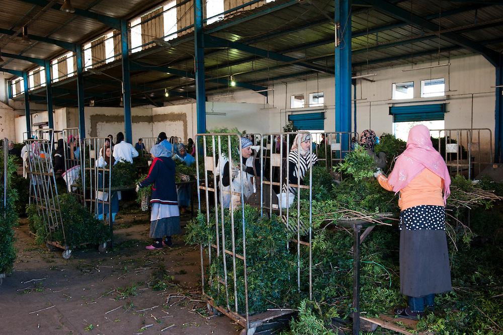 Sejenane is a forgotten city: 63% unemployment, poverty is widespread..The only factory is exporting plants to the Netherlands, the 100 workers earn 3 dinnars per day.<br /> <br /> Sejenane is in the grip of violent Salafis who rule here since April 2011.<br /> <br /> <br /> <br /> Sejenane est sous l'emprise des  Salafistes violents qui y font la loi et y ont installé un régime de terreur depuis avril 2011. .Sejenane est une ville oubliée: 63 % de chomage, la pauvreté est omniprésente. .L'unique unsine exporte des plantes aux Pays-Bas, les 100 ouvrières gagnent 3 dinnar par jour.