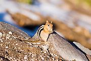 Chipmonk (Eutamias striatus), Crater Lake National Park, Oregon