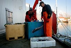 NORWAY LOFOTEN 27MAR07 - Crew of the Utheim Junior unloads its catch in Henningsvaer port on the Lofoten islands...jre/Photo by Jiri Rezac..© Jiri Rezac 2007..Contact: +44 (0) 7050 110 417.Mobile:  +44 (0) 7801 337 683.Office:  +44 (0) 20 8968 9635..Email:   jiri@jirirezac.com.Web:    www.jirirezac.com..© All images Jiri Rezac 2007 - All rights reserved.
