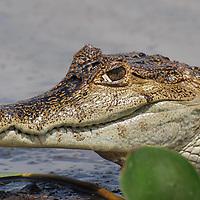 Caiman crocodilus o también llamada Baba. El Hato Piñero, ubicado en los llanos centrales de Venezuela, Estado Cojedes; constituye un desarrollo que se caracteriza por el turismo ecológico, donde los visitantes pueden disfrutar de la diversidad de la fauna, las actividades ganaderas y agroindustriales. El Hato Piñero es un retiro para los amantes de la naturaleza, observadores de aves o los viajeros que simplemente buscan paz y tranquilidad. Estado Cojedes. Venezuela. Caiman crocodilus or also called Baba. El Hato Piñero, located in the central plains of Venezuela, Cojedes State; It is a development characterized by ecological tourism, where visitors can enjoy the diversity of fauna, livestock and agroindustrial activities. El Hato Piñero is a retreat for nature lovers, birdwatchers or travelers who simply seek peace and tranquility. Cojedes State. Venezuela.