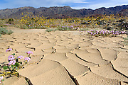 "Record rain in October 2015 set the stage for a ""superbloom"" in the spring 2016 in Death Valley National Park. The yellow desert gold and purple sand verbena were beautiful south of bad water."