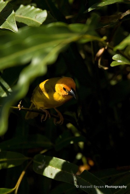 A male Golden Weaver Bird perched in shade in Mombasa, Kenya