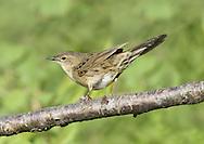 Grasshopper Warbler - Locustella naevia