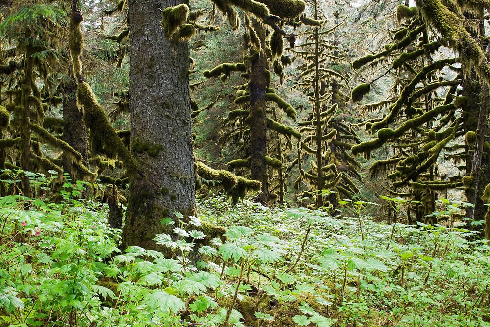 USA, Alaska, Kodiak Island, Rainforest on summer evening