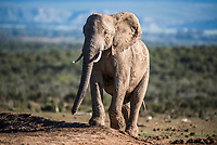African Elephant, Addo Elephant National Park, Eastern Cape, South Africa