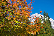 Fall color under Mount Rainier at Longmire, Mount Rainier National Park, Washington