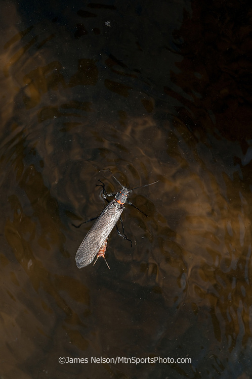 A salmon fly (a.k.a., stone fly) skitters across the surface of the Henry's (a.k.a., North) Fork of the Snake River, Idaho.