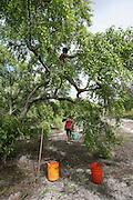Catadora(s) de mangaba, colhem em áreas ainda permitidas no povoado de Pontal..© Tatiana Cardeal
