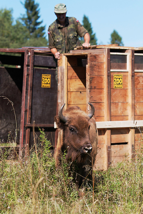 Two year-old female European Bison or Wisent (Bison bonasus) in an accomodation enclosure in Bieszczady National Park shortly after its release. The bison was donated by Prague Zoo. Bukowiec, Poland.