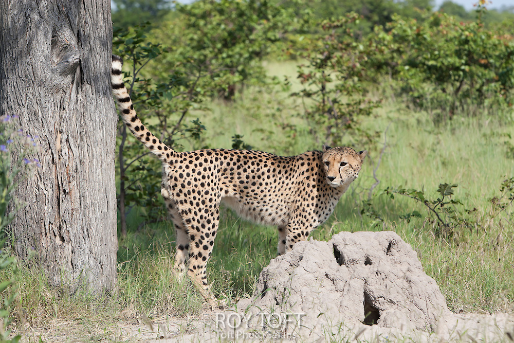 A cheetah standing alert next to a termite mound, Botswana, Africa