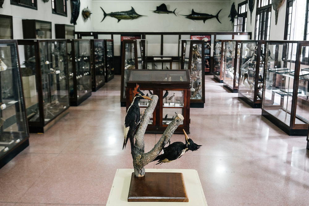 Ivory-billed woodpecker specimens at Felipe Poey Museum of Natural history at the University of Havana in Havana, Cuba on Feb. 9, 2016. The specimens are more than 100 years old and are some of the only existing in the world.