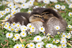 © Licensed to London News Pictures. 14/05/2014. London, UK. Two young ducklings sleep amongst the dasies in the sunshine in Regents Park in London on 14th May 2014. Photo credit : Vickie Flores/LNP