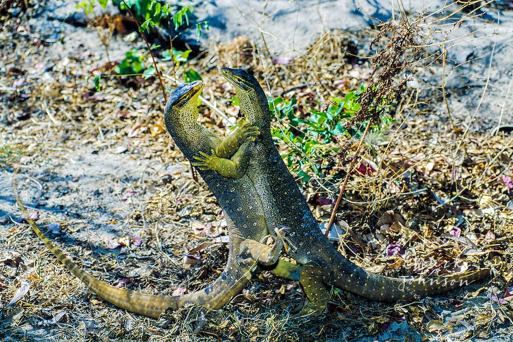Australia, Qld., Lizard Island, two Sand Monitors (Goannas) fighting