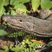 The water monitor (Varanus salvator) is a large lizard native to South and Southeast Asia. Water monitors are one of the most co
