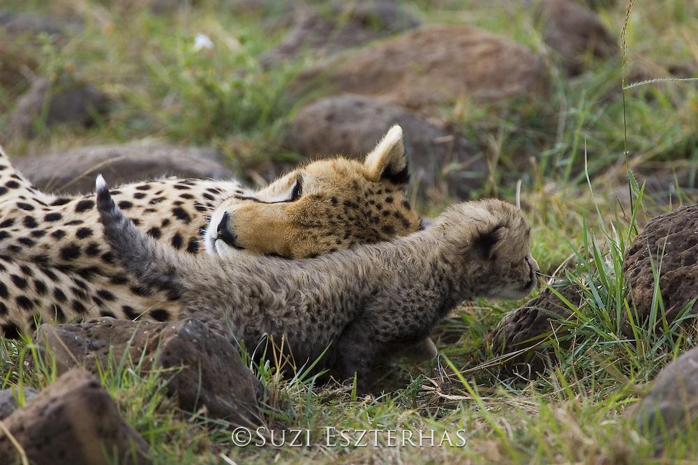Cheetah<br /> Acinonyx jubatus<br /> Mother nuzzling 16 day old cub<br /> Maasai Mara Reserve, Kenya