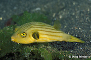 striped pufferfish or narrow-lined puffer, Arothron manilensis, Secret Bay, Bali, Indonesia