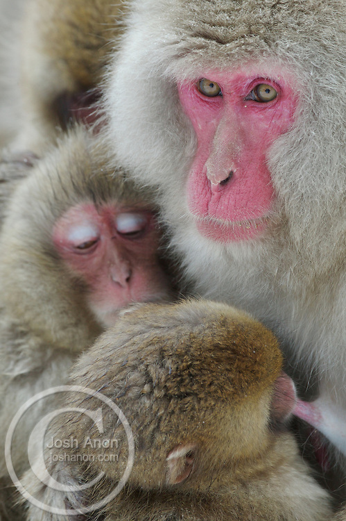 A baby snow monkey nurses from its mother, with its family in the background, at a hot spring in Japan.