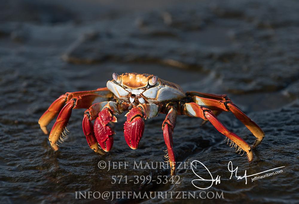 A Sally lightfoot crab walks across volcanic rock on Santiago island, Galapagos islands, Ecuador.