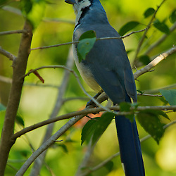 A white throated magpie-jay