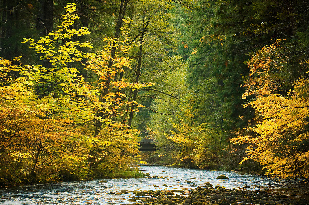 South Fork McKenzie River at Frissel Crossing Campground, with Bigleaf Maple and Vine Maple trees in Fall color; Willamette National Forest, Cascade Mountains, Oregon.