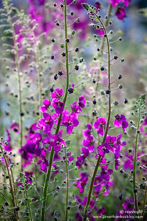 Verbascum phoeniceum 'Violetta' in Nigel Dunnett's RBC Blue Water Roof Garden, RHS Chelsea Flower Show 2013. Purple mullein
