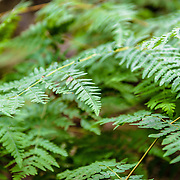 Fern branch in Mt Field National Park, Tasmania, Australia