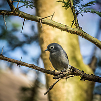 White-eye Slaty Flycatcher