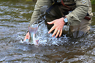 A Dolly Varden Trout (Char) escapes capture on a remote stream on the Alaska Peninsula