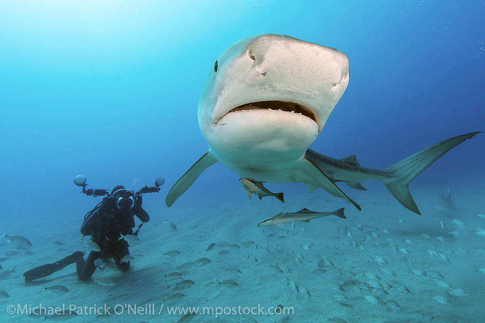 An underwater photographer takes a picture of a Tiger Shark, Galeocerdo cuvier, during a shark dive offshore Jupiter, Florida, USA.