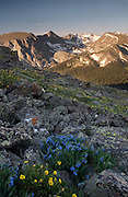 Early morning light hits Terra Tomah Mountain, Mount Julian and Mount Ida on the Continental Divide with alpine wildflowers in the foreground on Trail Ridge, Rocky Mountain National Park.