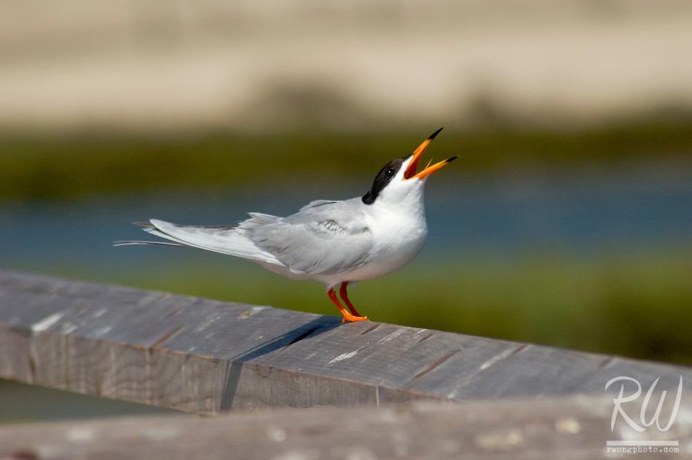 Forster's Tern Calling, Bolsa Chica Wetlands Reserve, California