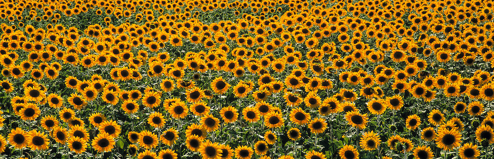 Sunflower field. Provence, France