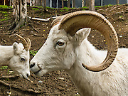 A white Dall sheep grows large curved horns at the Alaska Zoo, Anchorage, Alaska, USA. Dall sheep (Ovis dalli) are native to northwestern North America. The sheep inhabit the subarctic mountain ranges of Alaska, the Yukon Territory, the Mackenzie Mountains in the western Northwest Territories, and northern British Columbia.