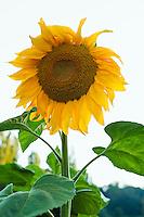 A large sunflower in a garden.  Seattle, WA.