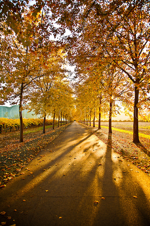 Napa Valley driveway in the Fall.