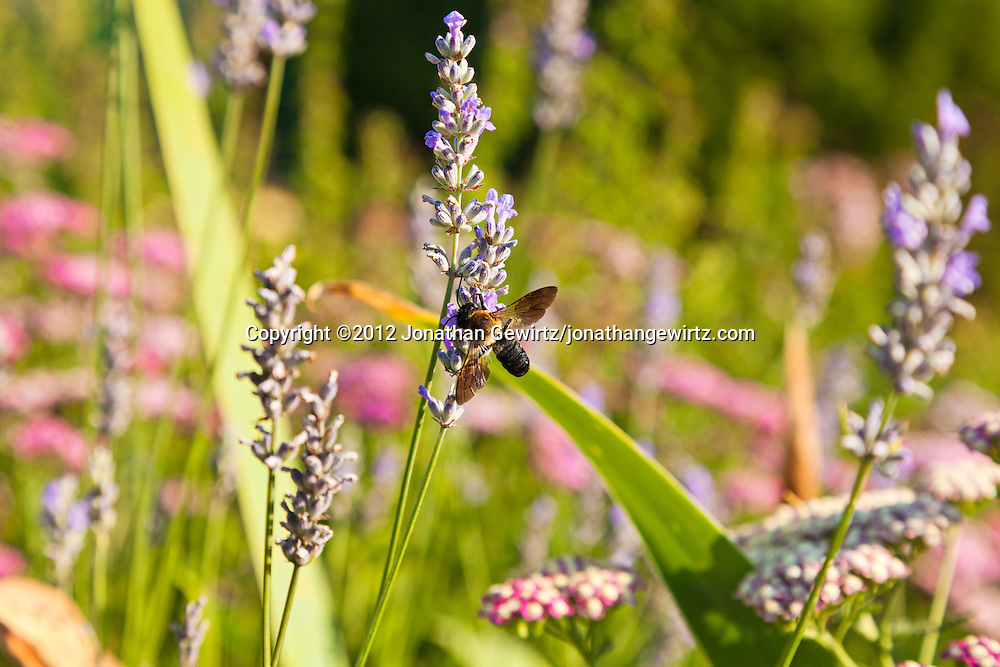 A Honey Bee (Apis) feeds on lavender flowers in a garden. WATERMARKS WILL NOT APPEAR ON PRINTS OR LICENSED IMAGES.