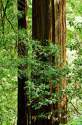 California, San Francisco: The trunk of a mature redwood tree at Muir Woods..Photo #: 33-casanf80984.Photo © Lee Foster 2008