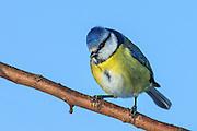 Eurasian Blue Tit on a branch | Blåmeis på en gren