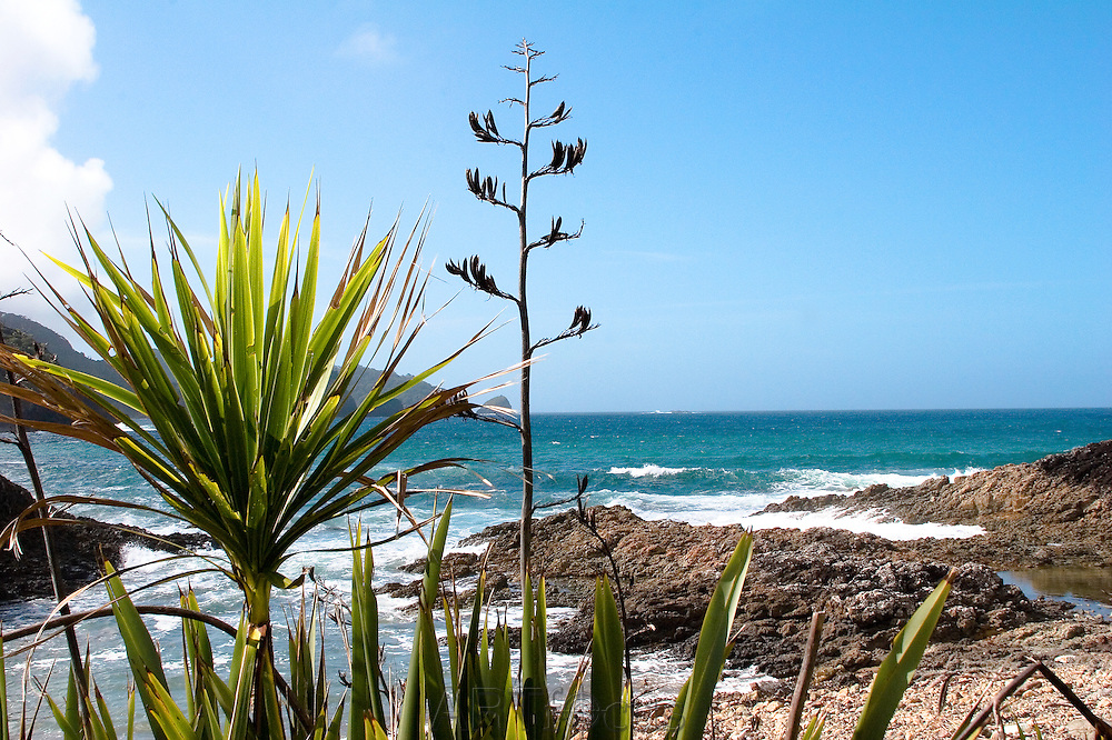 cabbage tree and native plants at Te Toroa Bay on Cape Brett Peninsula