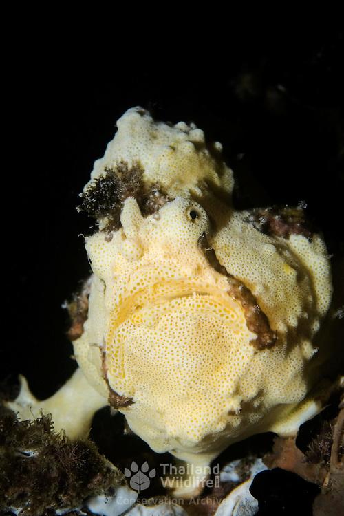 Warty Frogfish, Antennarius maculatus, Lembeh Straits, Indonesia.