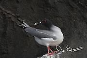 Lava gull on Genovesa island in the Galapagos archipelago of Ecuador.